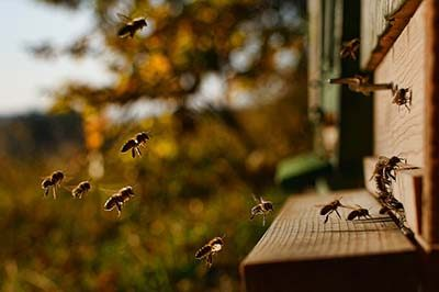 Hippy Beekeeping Bees Flying Into Hive