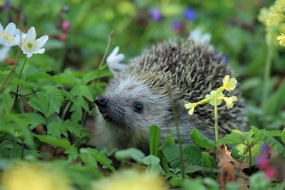 Spring has Sprung - Hedgehog